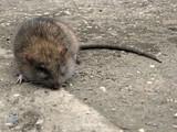 dead rat poster