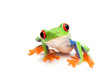 canvas print picture - frog closeup on white