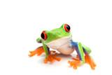 žaba detailné na bielom