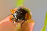 ladybird portrait in drops poster