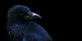 Crow, raven  poster
