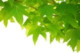 green leaves - Fine Art prints