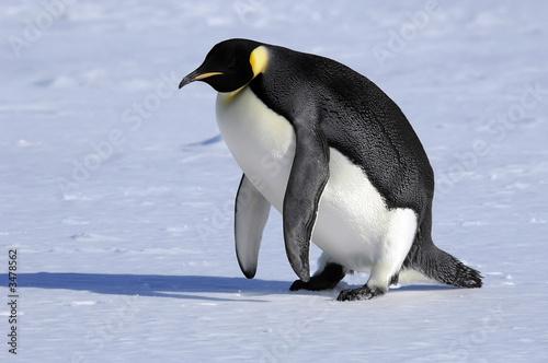 Poster Antarctica emperor penguin stands up