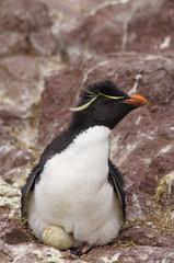 rockhopper peguin manchot pingouin  oeuf