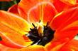 tulpenblühte geöffnet