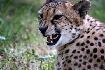 the cheetah attacks