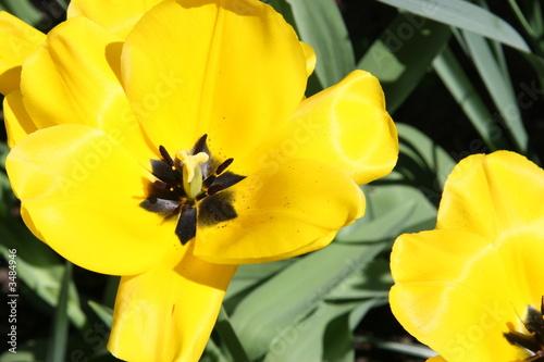 tulpenblühten geöffnet