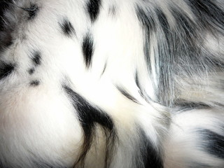 Black and White Fur Coat Detail of Pet Dog