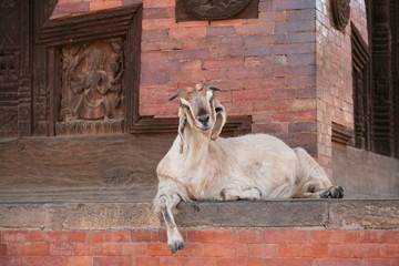 enlighted goat.