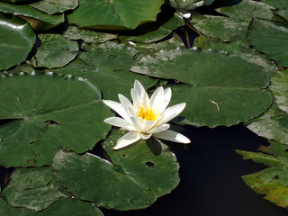 single white lotus blossom