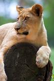 White Lion on a tree stump poster