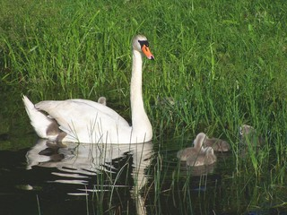 swan and child under the wing
