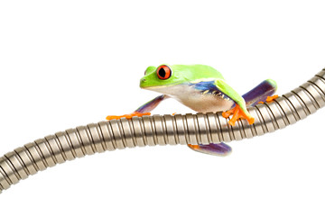 red-eyed tree frog on tubing isolated