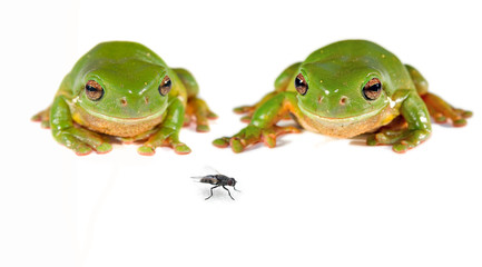 two green tree frogs and a fly