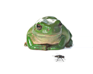 tree frog and fly