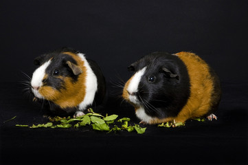 side facing guinea pighs eating dandelions