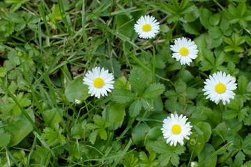 white daisies in the grass