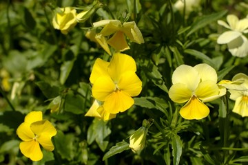 yellow pansy blossoms
