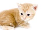 yellow kitten looking left poster