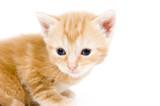 closeup of yellow kitten looking left poster
