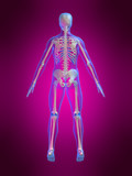 anatomie eines skeletts poster