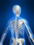 skelett anatomie poster