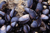 closeup of blue mussels poster