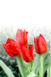 Four stalks of bright red tulips