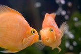gold fish smile close-up humor face seeing her reflection poster