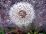Detail of a blowball - dandelion past blossom poster