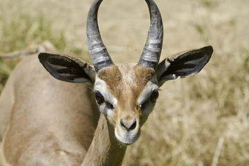 Close up of a male gerenuk's face