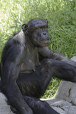 Chimpanzee staring toward camera camera, while at 3/4 angle poster