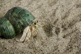 A land hermit crab (coenobita rugosus) poster