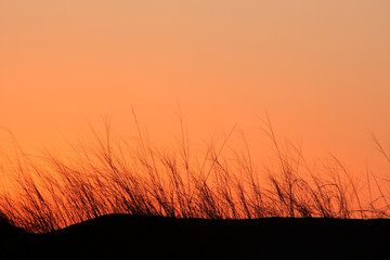 Grass silhouette on dune at sunset