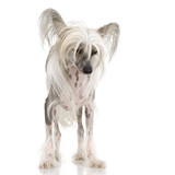 chinese crested dog Hairless dog in front of a white background poster