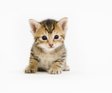 Fototapety A small kitten sits on a white background