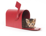 A small kitten hides inside of a red mailbox on white background poster
