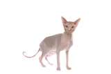 Smart sphinx cat isolated on white poster
