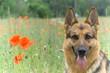 Germany sheepdog portrait