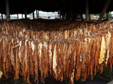 drying tobacco poster