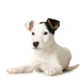 puppy Jack russel in front of a white background poster