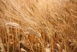 Campo di grano poster
