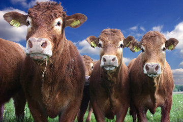 Gorgeous cows