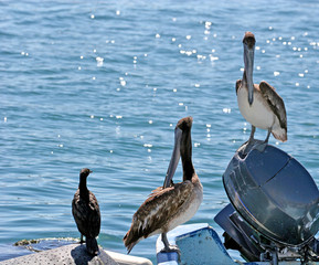 Two Pelicans and a Gull