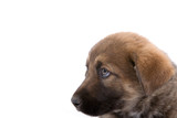 brown puppy dog looking left poster