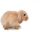 brown-white bunny on the left side poster