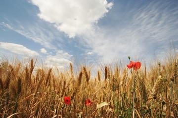 ciel bleu sur le blé