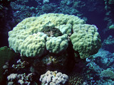 Underwater landscape. Coral and mollusc. Red Sea. poster