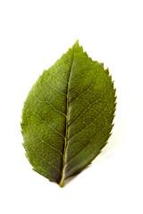 feuille vert jauni détourée fond blanc automne dessèchée