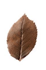 feuille rouille détourée sur fond blanc automne dessèchée